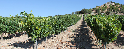 Viñas Vaquos Ribera del Duero 1