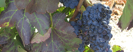 Viñas Vaquos Ribera del Duero 2 (2)