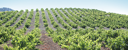 Viñas Vaquos Ribera del Duero 4 (2)